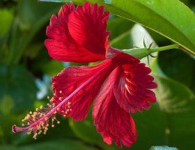 गुड़हल के फूल से होते हैं ढेरों स्वास्थ्य लाभ